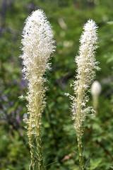 Bear Grass, Glacier N. P. (punahou77) Tags: beargrass flower bokeh macro glaciernationalpark nature nationalpark nikond500 nikon stevejordan punahou77 park