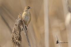 Cistícola buitrón (Cisticola juncidis) (jsnchezyage) Tags: cistícolabuitrón cisticolajuncidis ave bird birding birdwatching ornithology beak feather fantailedwarbler