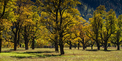Canadian Ahorn in Tyrol (Traveller_40) Tags: ahornboden autumn autumncolors eng fall gold herbst hinterriss landscape leaf nature park tree wood bright color countryside environment fairweather outdoors rural scene scenery scenic season sight exif:aperture=ƒ45 exif:model=canoneos7d camera:make=canon exif:focallength=70mm camera:model=canoneos7d exif:lens=ef70200mmf28lisiiusm exif:isospeed=200 exif:make=canon