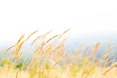 hay in the wind (VisitLakeland) Tags: finland lakeland tahko field forest heinä hey luonto maisema nature outdoor ruohikko scenery