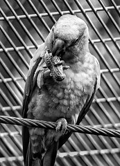 I think it's time for lunch!😊 (LeanneHall3 :-)) Tags: blackandwhite mono parrot feathers beak monkeynut lunchtime bird animal closeupphotography closeup nature wildlife aviary eastpark hull kingstonuponhull canon 1300d