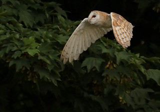 Barn Owl in flight great to see during the day!