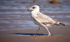 Seagull (moniquedoon) Tags: