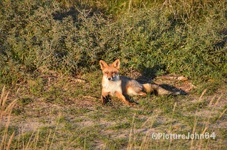 First time in front of my camera: The fox