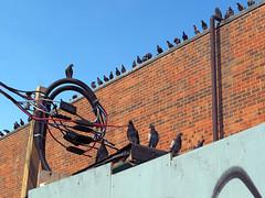 Watch Birds Watch (geowelch) Tags: toronto pigeons birds flock roost perching wildlife urban urbanwildlife olympusomdem1 panasoniclumixgvario1445mm dundasstwest
