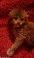 Aurora and her blanket (katelynjackson) Tags: girl rescued pet baby tortoiseshell red little cute kitten blanket gray