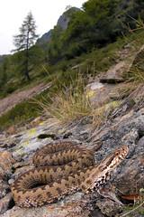 Vipera berus (Gabriele Carabus Motta) Tags: snake vipera marasso european adder italy alps mountain wild venomous fauna