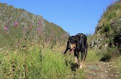 Nasco (bulbocode909) Tags: valais suisse nendaz chiens nature montagnes sentiers fleurs vert bleu