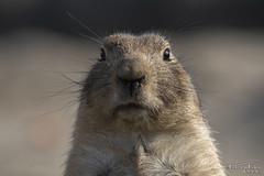 Prairie dog on alert. (PvRFotografie) Tags: nederland holland rotterdam diergaardeblijdorp dierentuin dieren dier animals animal prariedog prairiehond zoo closeup close sonyilca99m2 sony70200mmf28g 200mm