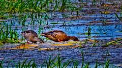 _1100128_a-1 (ron_kuest) Tags: ronkuest baskettsloughnationalwildliferefuge ducks