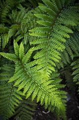 Green Fronds (s.d.sea) Tags: garden pentax k5iis pacificnorthwest washington washingtonstate pnw klahanie issaquah fern frond fronds green moody dramatic summer