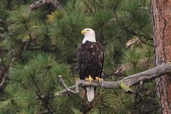 Bald Eagle On Wild Horse Island (fethers1) Tags: montana montanawildlife flatheadlake bird eagle baldeagle