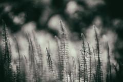 märchenwald (_elusive_mind_) Tags: monochrome pflanzen plants blackandwhite bw wildflowers