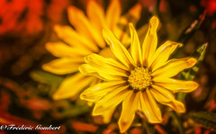 Shining (frederic.gombert) Tags: flower flowers light color colors colored red yellow orange macro plant bloom blossom summer sun