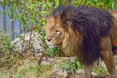 The King - 5763 (ΨᗩSᗰIᘉᗴ HᗴᘉS +20 000 000 thx) Tags: nature lion king roi flora flower hensyasmine namur belgium europa aaa namuroise look photo friends be wow yasminehens interest intersting eu fr greatphotographers lanamuroise tellmeastory flickering