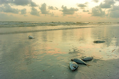 Red Tide (neal1973) Tags: red tide redtide florida annamariaisland annamaria gulfofmexico fish water dead beach sand sky cloud
