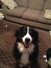 Umber (Alpen Schatz - Mary Dawn DeBriae) Tags: happy customer alpenschatz bernesemountaindog dog swissdogcolar hunterswisscrosscollar doggles stein