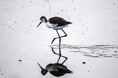 IMG_5578 (ibzsierra) Tags: ibiza eivissa baleares canon 7d reflejo reflection ave bird oiseau estanque salinas parque natural