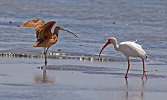 Long-billed Curlew, White Ibis, size comparison (1krispy1) Tags: sandpipers curlew ibis whiteibis longbilledcurlew texasbirds