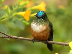 Violet-tailed Sylph, Aglaiocercus coelestis (Ecuador Megadiverso) Tags: andreaskay bird birdwatcherslodge colibri ecuador hummingbird mindo trochilidae violettailedsylph aglaiocercuscoelestis