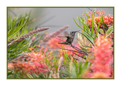 An Embarassment of Riches (JohnKuriyan) Tags: santacruz california arboretum annashummingbird australian grevillia
