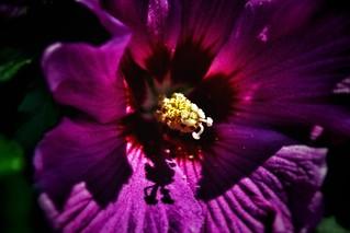 Sonnenberg Gardens & Mansion ~ Historic Park ~ Canandaigua NY - Purple Macro Tulip
