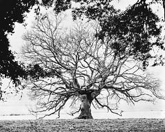 (Attila Pasek (Albums!)) Tags: linefilm 8x10 commercial tree kodak winter vds blackandwhite agfa largeformat bw 14inchf63 ektar alliancecamerace film vdscameramanufactory