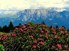 Alpenrosenwanderung am Ritten