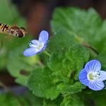Le syrphe, petite mouche aux couleurs des abeilles thumbnail
