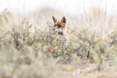 R18_2410 (ronald groenendijk) Tags: cronaldgroenendijk 2018 diereninhetwild rgflickrrg animal copyrightronaldgroenendijk fox nature natuur natuurfotografie netherlands outdoor ronaldgroenendijk vos vulpis wildlife