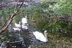 Schwäne im Villenhofer Maar (mama knipst!) Tags: schwan swan wasservogel waterbird vogel bird