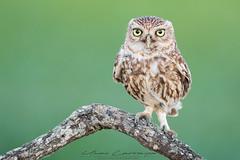 Posando. (Fotografias Unai Larraya) Tags: mochuelo animales aves campo rapaces nocturna navarra naturaleza ngc