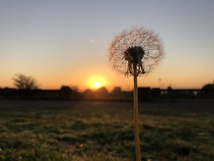 time to rise, Crystal Palace Park (looper23) Tags: london september 2018 sunrise dawn dandelion clock seeds