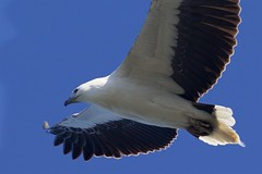 Searching below /1 (Geoff Main) Tags: australia bird birdofprey birdinflight eagle nsw nswsouthcoast whitebelliedseaeagle