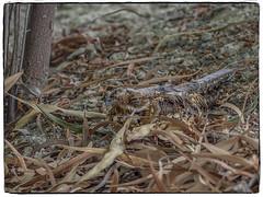 CHOTACABRAS PARDO (BLAMANTI) Tags: chotacabras aves avesdeespaña mimetizado camuflaje hermoso hermosa olympus olympusomd blamanti oculto