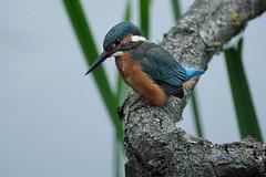 Fish Watch (Hugobian) Tags: kingfisher bird birds nature wildlife fauna animal lackford lakes pentax k1 swt