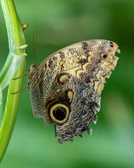 Owl butterfly Ƹ̵̡Ӝ̵̨̄Ʒ (billcoo) Tags: 6dii bokeh insect macro 2