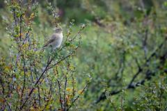 DSC02137 (Andrew Arch) Tags: bird guovdageaidnu warbler kautokeino finnmarkcountymunicipality norway no