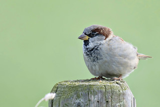 Huismus-House Sparrow (Passer domesticus)