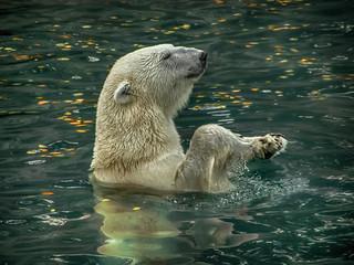 Polar bear / Белый мишка