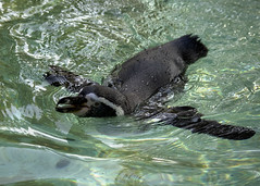 Happy Swimmer (MrBlueSky*) Tags: humboldtpenguin penguin aquaticbird bird animal nature outdoor water colour london londonzoo zsl canon canonm6 canoneos
