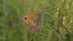 Le fadet commun (passionpapillon) Tags: macro papillon butterfly insecte lefadetcommun passionpapillon 2018