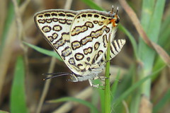 IMG_6181 (mohandep) Tags: hessarghatta lakes karnataka butterflies birding nature wildlife insects signs food