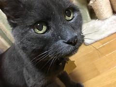 Bonkers Looking for Something (sjrankin) Tags: 17september2018 edited animal cat bonkers floor closeup livingroom kitahiroshima hokkaido japan