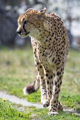 Cheetah on the way (Tambako the Jaguar) Tags: cheetah big wild cat male way walking profile portrait face grass kinderzoo zoo knie rapperswil switzerland nikon d5