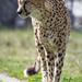 Cheetah on the way