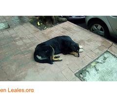 Encontre perro negro mediano (Leales.org • tu guía animable) Tags: adopta adoptar adoptanocompres noalmaltratoanimal adopción sebusca extraviado perdido perro gatos lealesorg