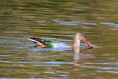 Northern Shoveler (Juvenile) (Jewill16) Tags: reifel duck shoveler