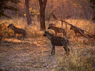 Chobe Hyenas 0091