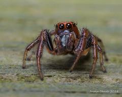 Orange Jumping Spider (strjustin) Tags: jumpingspider arachnid spider bug insect beautiful macro eyes